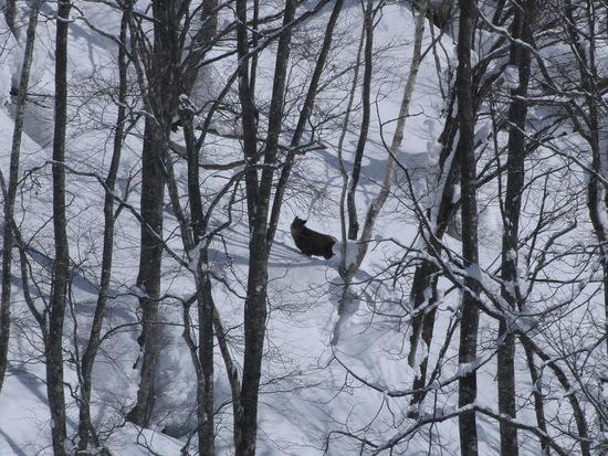 カモシカと遭遇|栂池高原スキー場のクチコミ画像